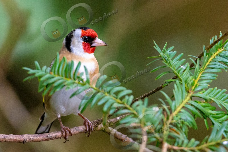 goldfinch Carduelis carduelis-4978 - UK birds