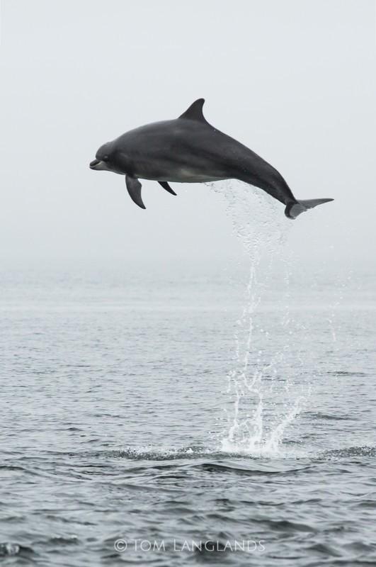Bottlenose Dolphin - Dolphins