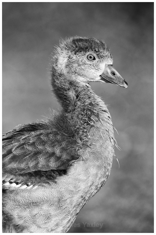 Egyptian Gosling Portrait - Latest Work