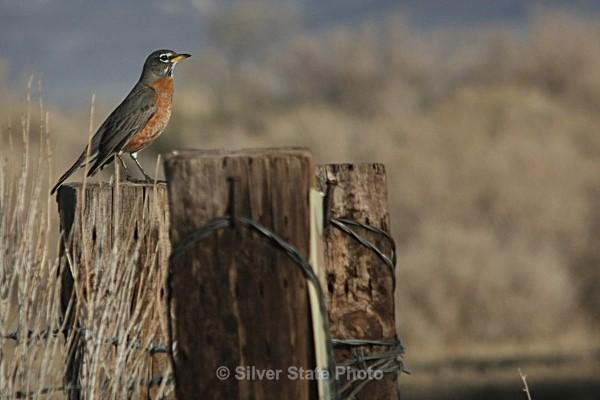 American Robin - Nevada Birds