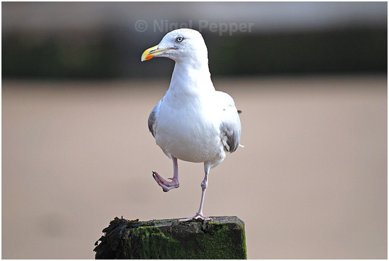 September 2nd 2007 - Leggy the Herring Gull