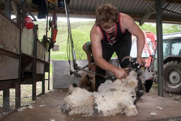 9 - Shearing at Glenwhargen Farm