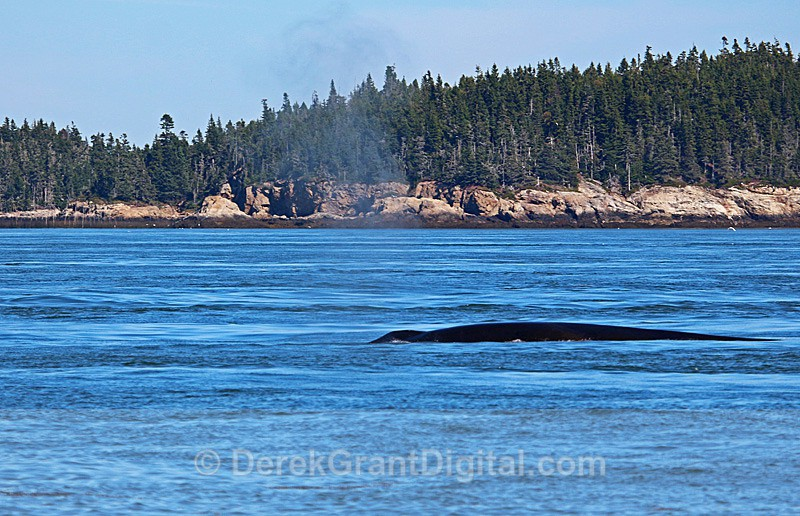 Whale Blow #1 - Bay of Fundy Whales
