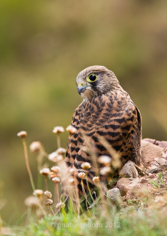 Kestrel - Falco tinnunculus RPNP0075 - Birds