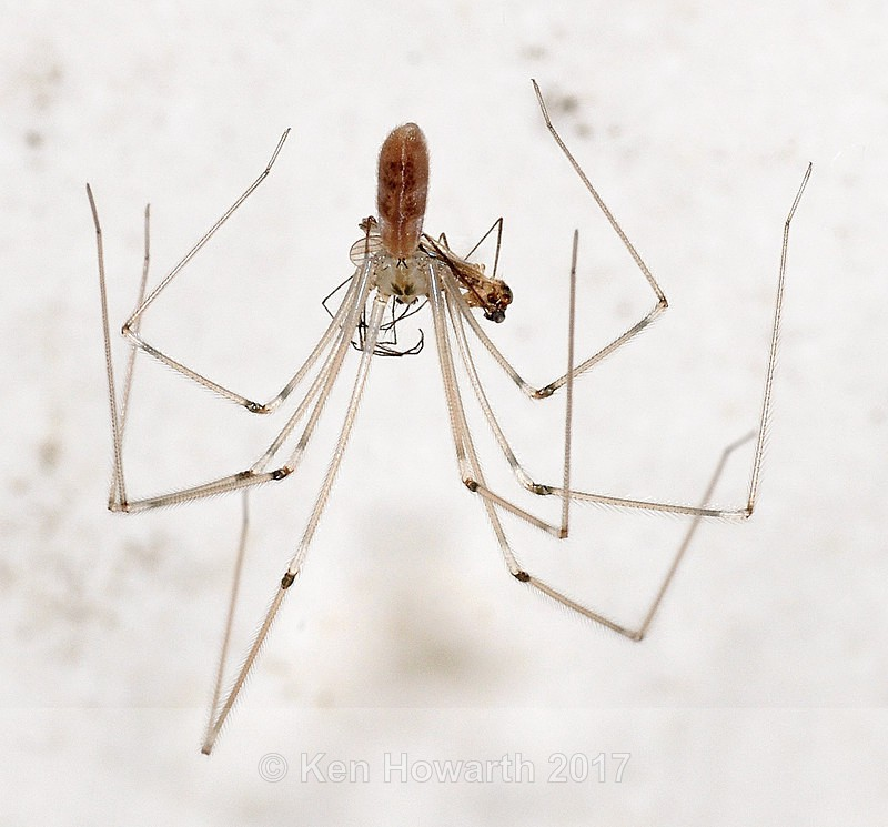 Harvester spider with prey - Natural World