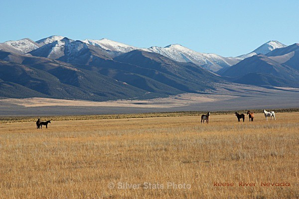 Horses at Reese River - Nevada (mostly) Landscapes