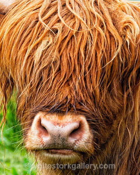 Hidden Face in Highland Cattle - Scottish Highlands