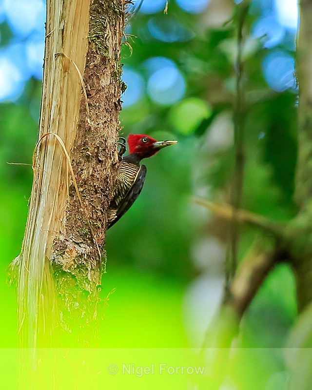 Pale-billed Woodpecker, Osa Peninsula, Costa Rica