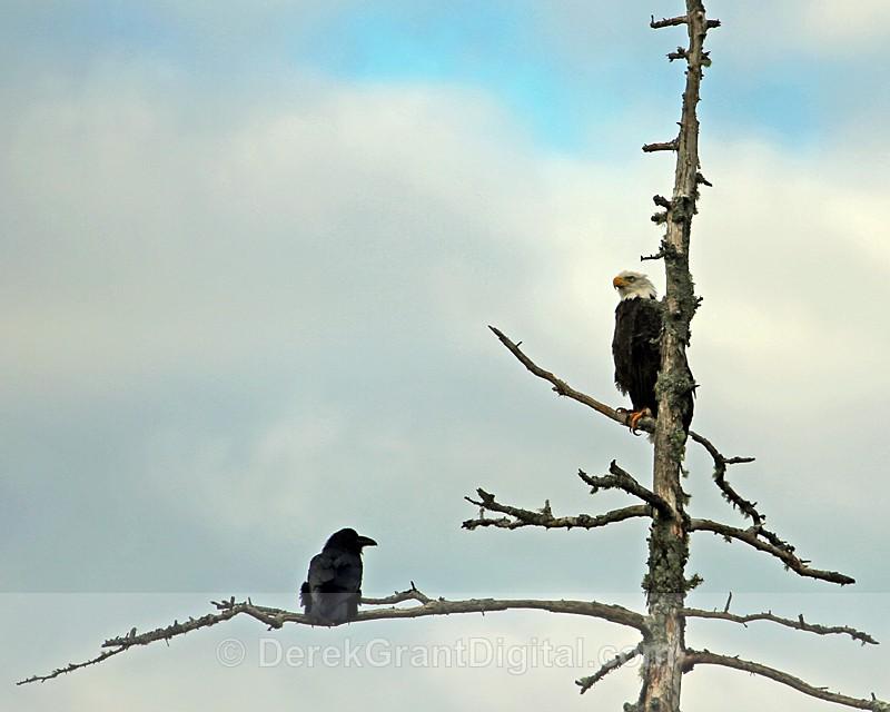 The Eagle & the Raven - Birds of Atlantic Canada