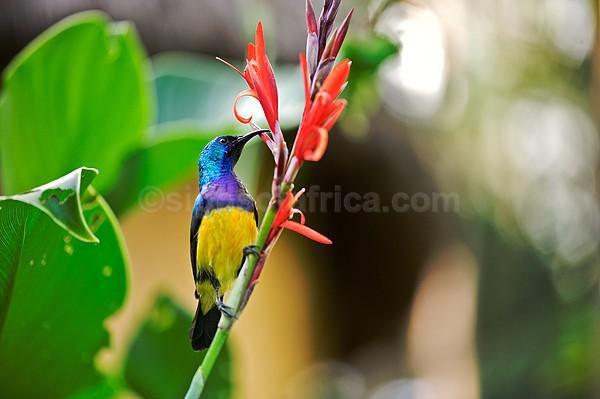 Variable Sunbird Nairobi Kenya