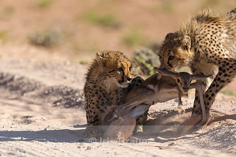 First Kill III - Cheetah