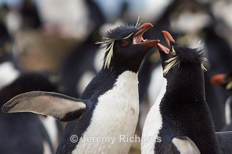 Rockhopper Penguins Courting - Bleaker Island