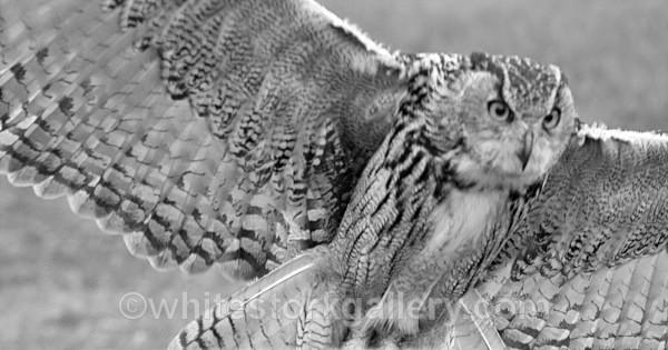 Eurasian Eagle - Wildlife and Animals