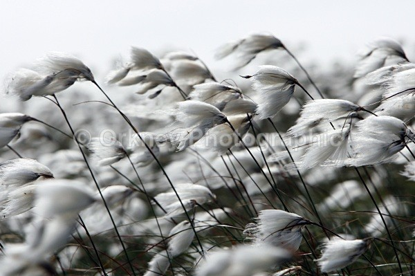 Bog cotton a - Orkney Images