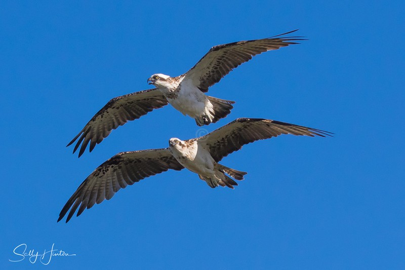 Osprey Pair in Flight 2 - Osprey (For Sale)