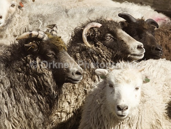 North Ronaldsay Sheep 8738 - Orkney Images