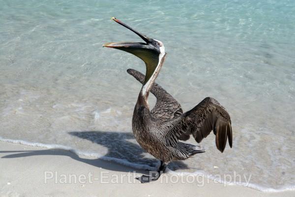 Pelican - Cuba