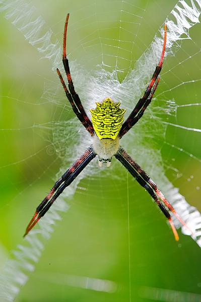 Argiope Spider Kenya