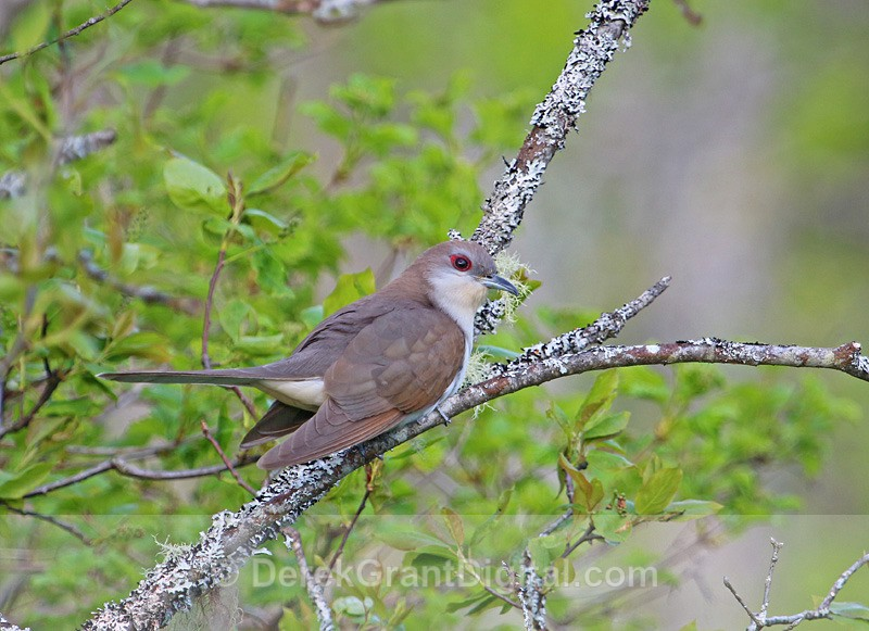 Black-billed Cuckoo - Birds of Atlantic Canada