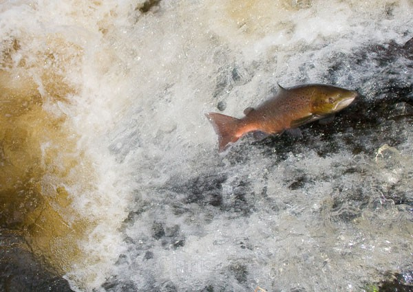 Leaping Salmon II - Animals/ Wildlife