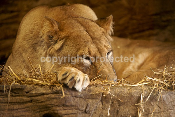 African Lion - Naja - Colchester Zoo - Big Cats & More