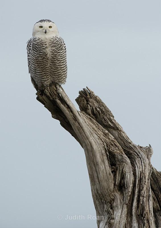 Snowy Owl 2012-3 - Snowy Owls