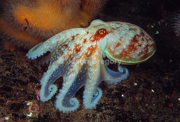 Eledone cirrhosa - Octopus, Squid & Cuttlefish (Cephalopoda)