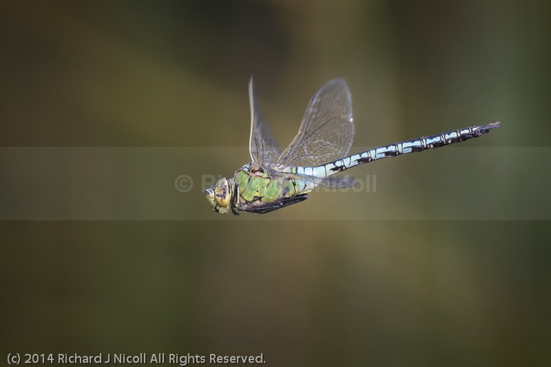 Emperor Dragonfly (Anax imperator) male in flight - Emperor Dragonfly (Anax imperator)
