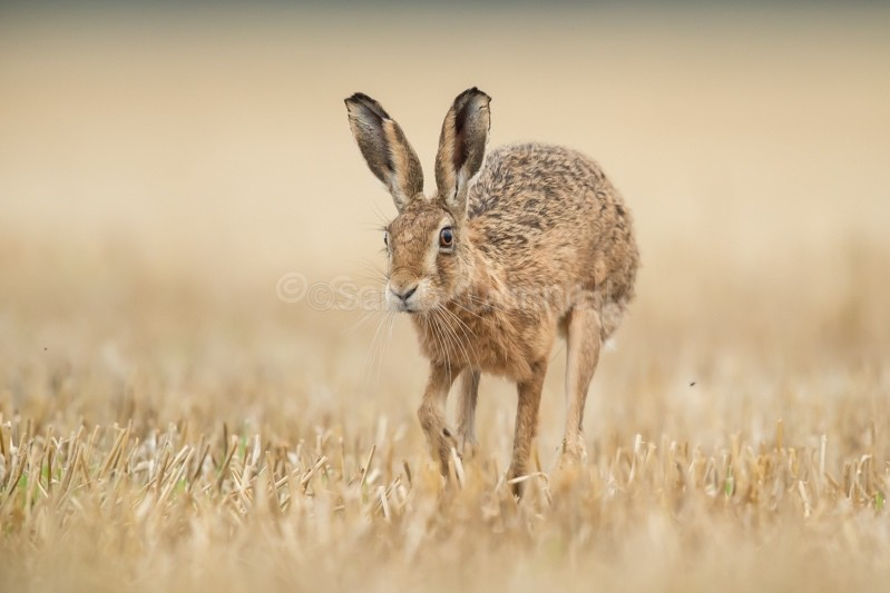 H3 - Hares