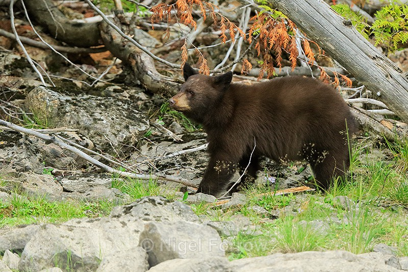 Black Bear cub, Mud Lake, British Columbia, Canada - Black Bear