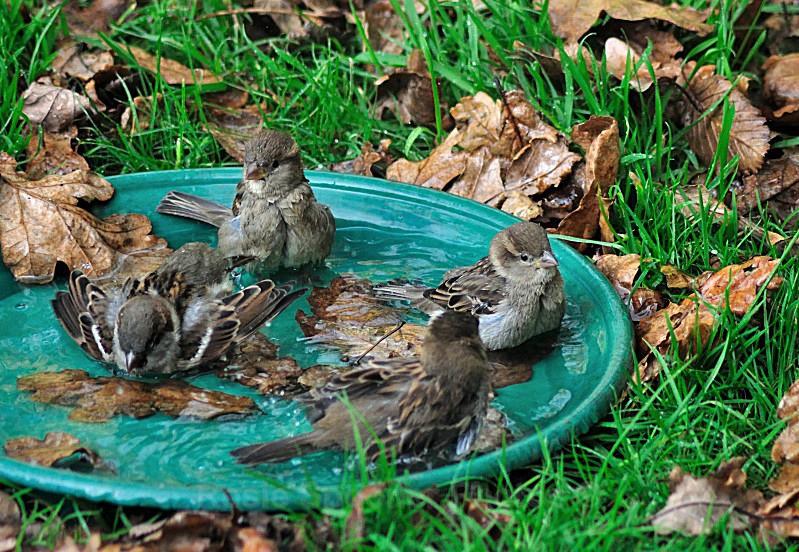 WO01 - Wildlife Greeting Card - Young Sparrows enjoying an autumn bath - Greetings Cards Wildlife