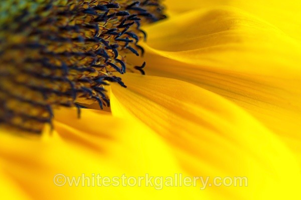 Sunflower - Up Close !
