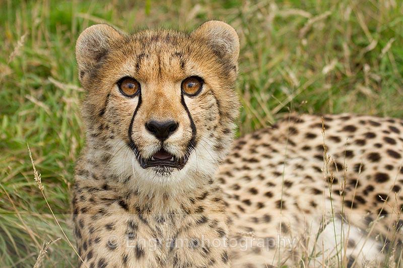 Cheetah Stare-R7018 - Animals (Fauna)