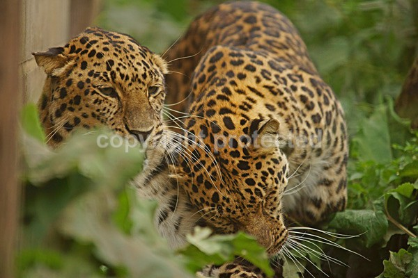Amur Leopards - Comet & Star - Cat Survival Trust - Big and Small Wild Cats