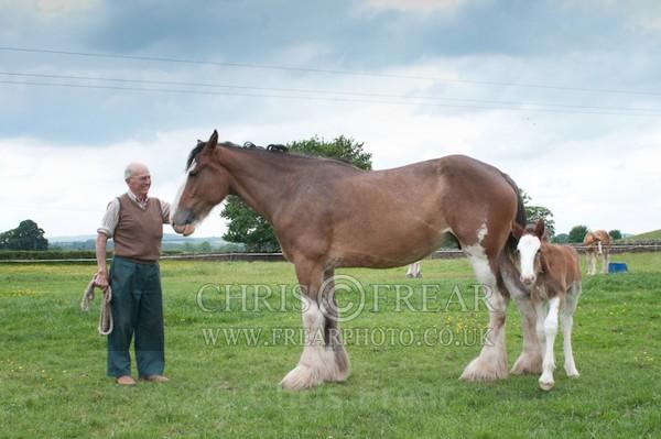ryecroft - Clydesdales 2013 Include Foals