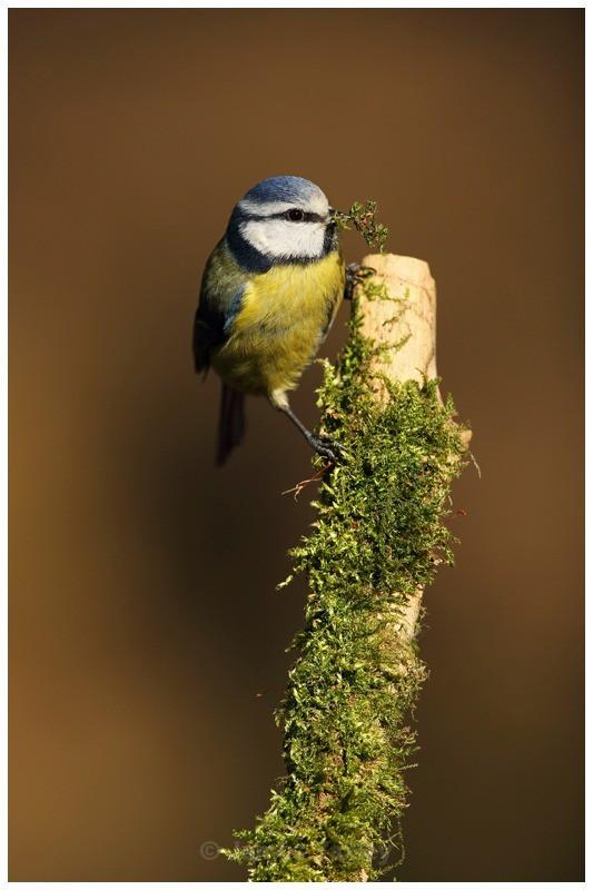 Gathering Moss - British Birds