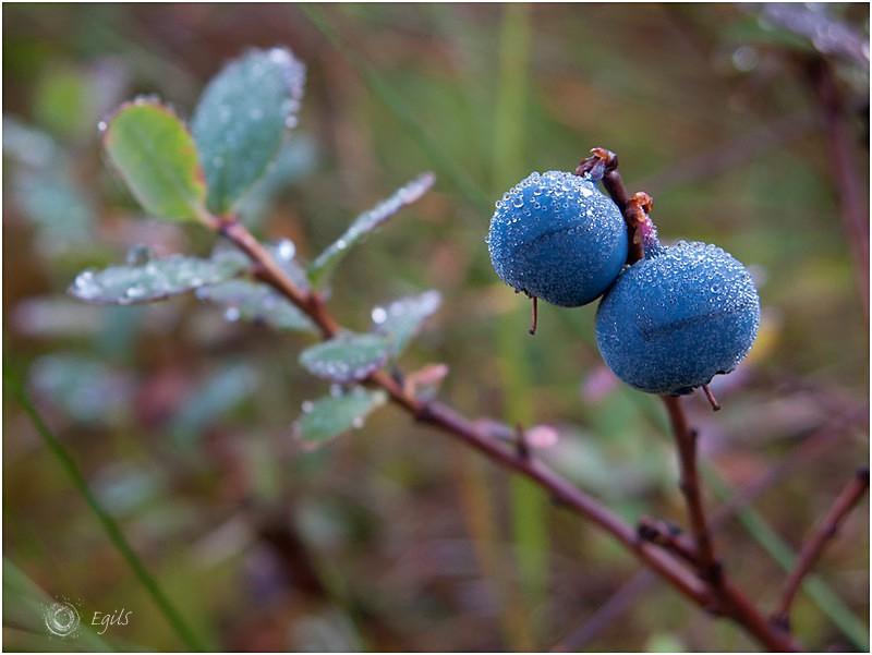 Blåbær 20110906-IMG_3440 - Natur