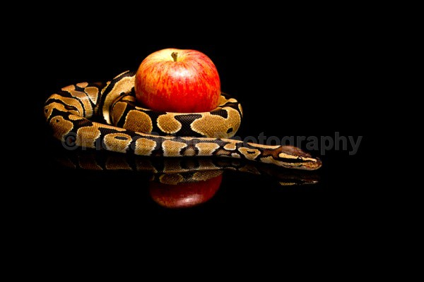 BACO TURNS VEGGIE - Reptile Photography
