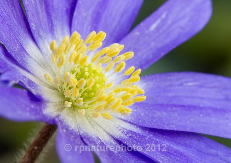 Anemone RPNP0694 - Flowers