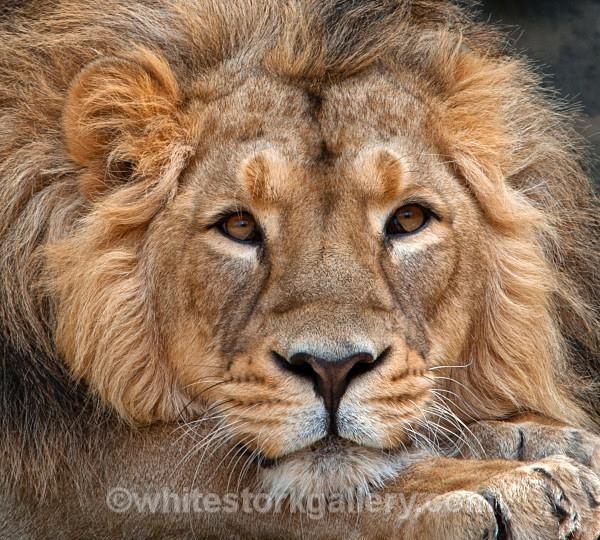 Angola Lion - Wildlife and Animals