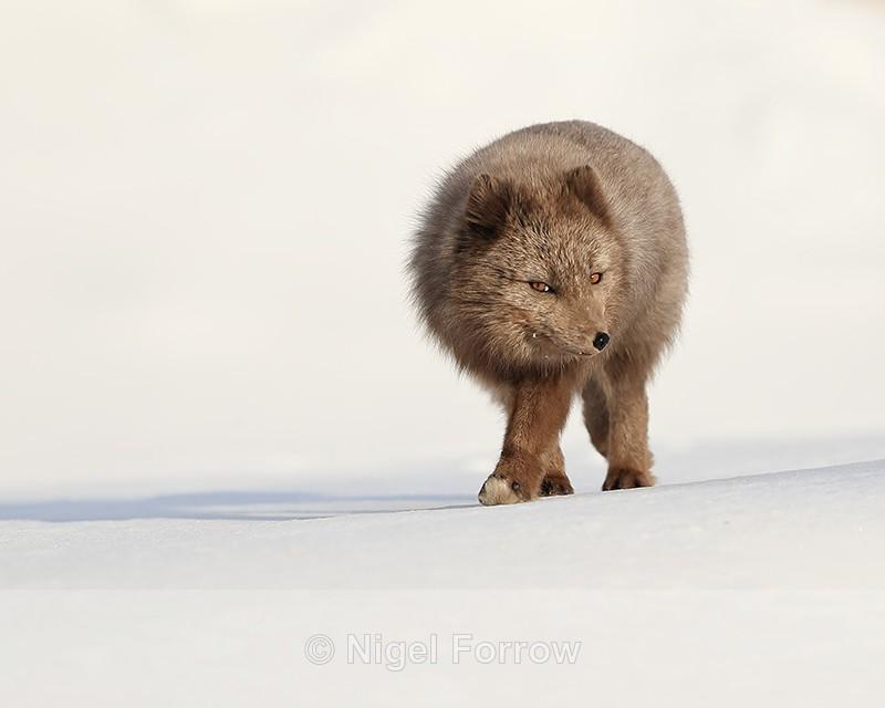 Dark Arctic Fox, Svalbard, Norway - Arctic Fox
