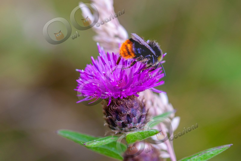 Bumble bee-5918 - Insects from around the world