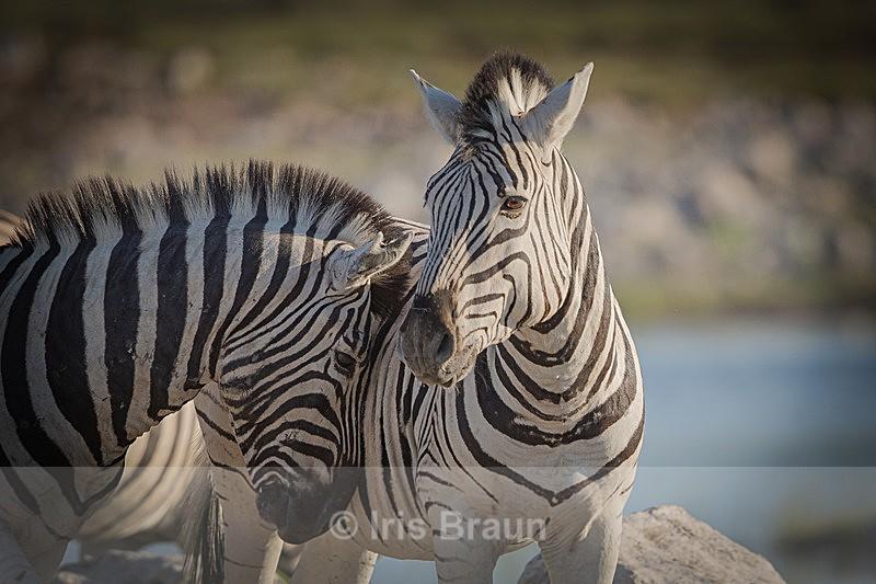 Affective - Zebra
