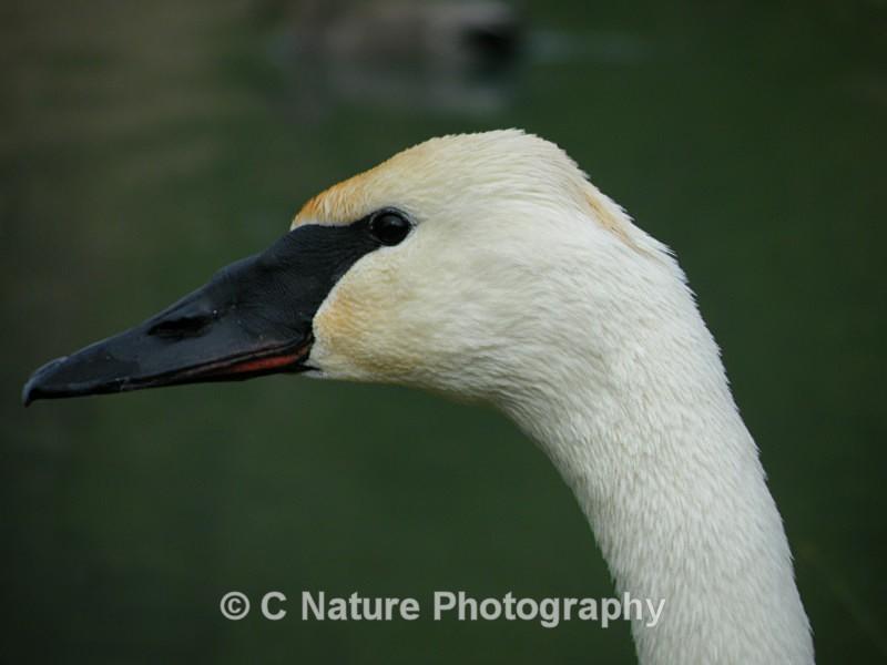Trumpeter Swan - Birds