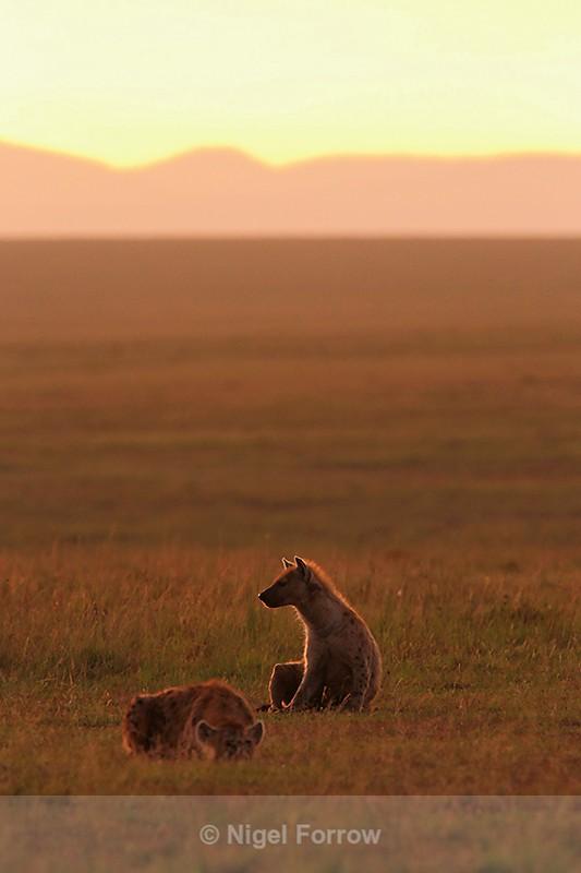 Spotted Hyenas at dawn - Hyena