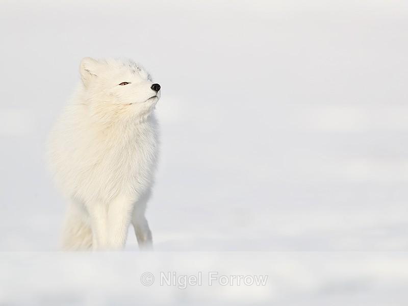 Arctic Fox sniffing, Svalbard, Norway - Arctic Fox