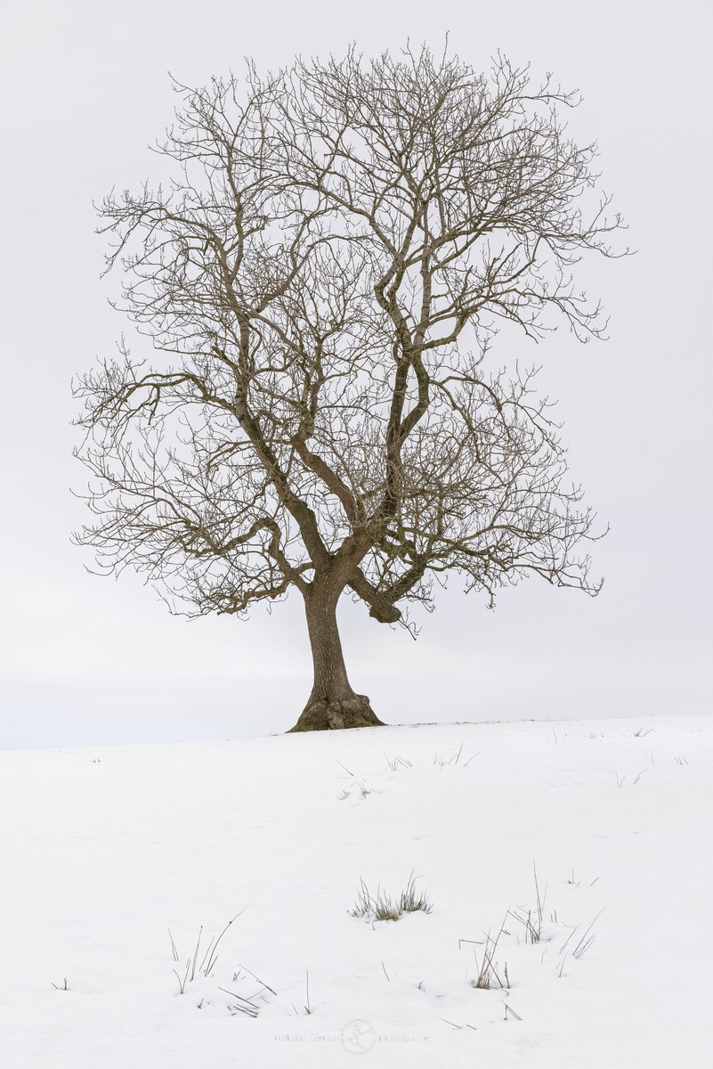 The Dale tree - WINTER