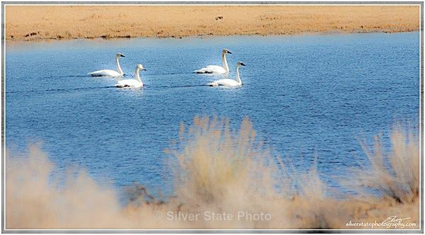 Tundra Swans - Nevada Birds