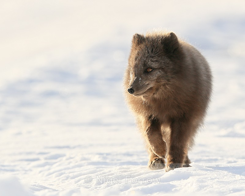 Svalbard dark Arctic Fox walking - Arctic Fox