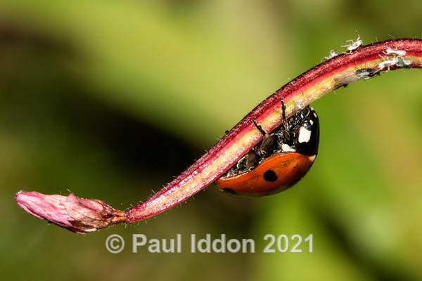 Ladybird Looking For Food - Macro
